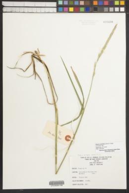 Image of Elymus dentatus