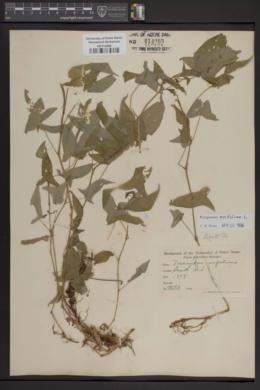 Image of Tracaulon arifolium