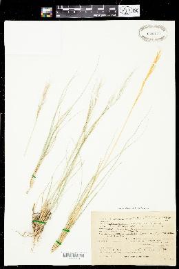 Aristida purpurea var. parishii image