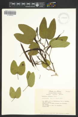 Image of Bauhinia dipetala