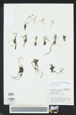 Image of Phemeranthus marginatus
