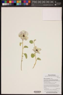 Hibiscus denudatus image