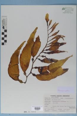 Macrocystis pyrifera image