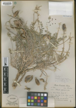 Image of Astragalus eurylobus
