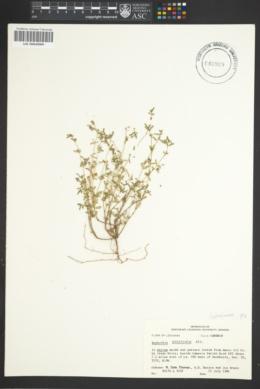 Euphorbia prostrata image