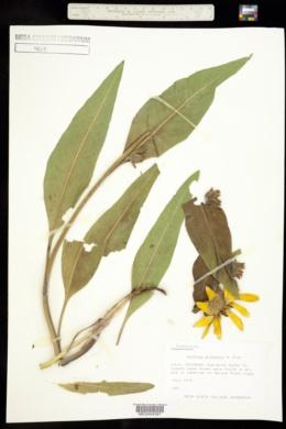 Wyethia arizonica image