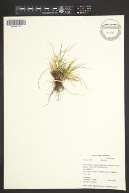 Carex geophila image