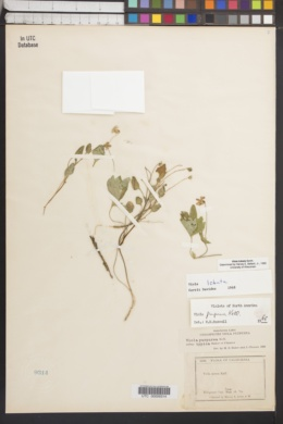 Viola lobata image