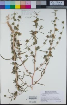 Calycadenia truncata image