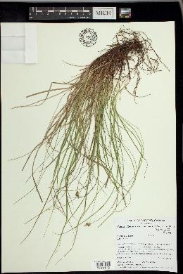 Carex emmonsii image