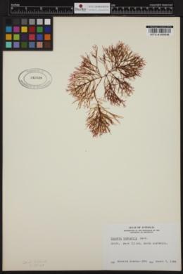 Champia viridis image