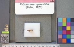 Phthorimaea operculella image