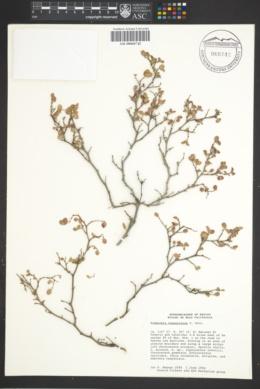 Image of Euphorbia scordiifolia