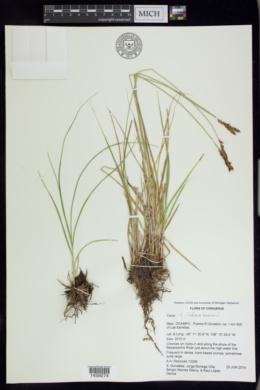 Carex chihuahuensis image