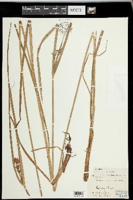 Image of Cyperus setigerus