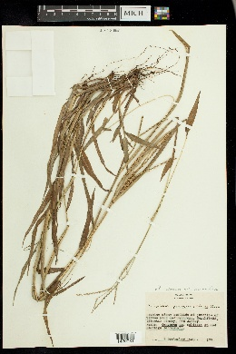 Paspalum setaceum var. psammophilum image
