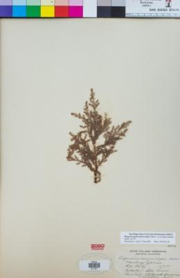 Cupressus macrocarpa image
