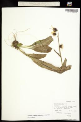 Image of Senecio amplectens