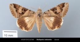 Melipotis indomita image