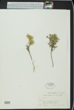 Lupinus kingii var. kingii image