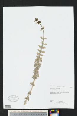 Image of Salvia hybrida