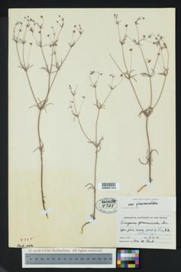 Eriogonum pharnaceoides var. pharnaceoides image