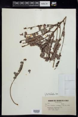 Image of Phyllanthus incrustatus