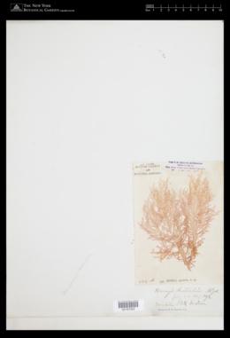 Gloiocladia australe image
