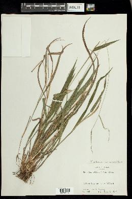 Paspalum setaceum var. ciliatifolium image