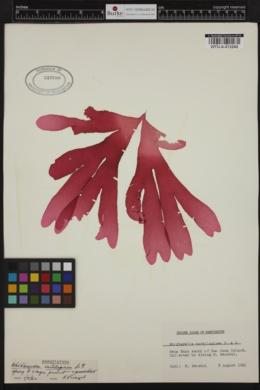 Whidbeyella cartilaginea image