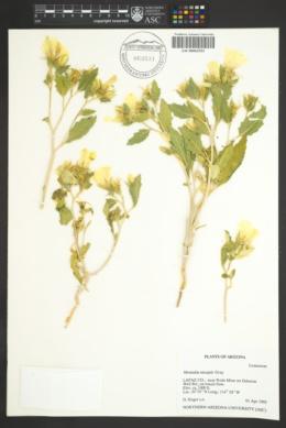 Mentzelia tricuspis image