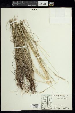 Digitaria insularis image