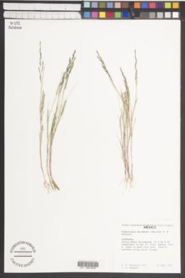 Image of Chaboissaea decumbens