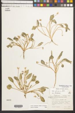 Viola utahensis image