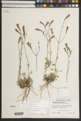Penstemon scapoides image