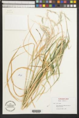 Image of Elymus sibiricus