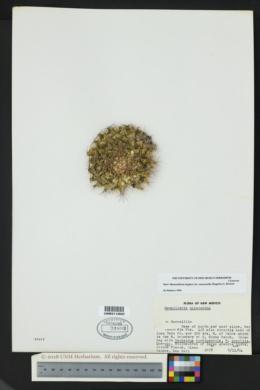 Mammillaria meiacantha image