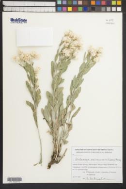 Image of Centaurea erivanensis