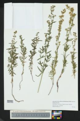 Galium boreale image