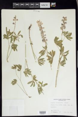 Lupinus obtusilobus image
