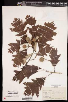 Image of Quercus lyrata