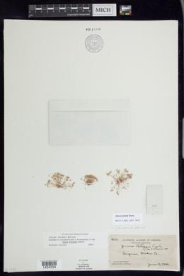 Juncus tiehmii image