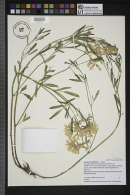 Image of Astragalus hamiltonii