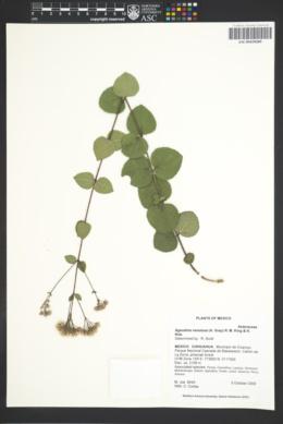 Ageratina venulosa image