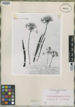 Image of Allium grandisceptrum