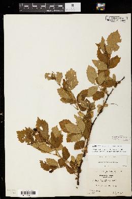 Image of Rubus pensilvanicus