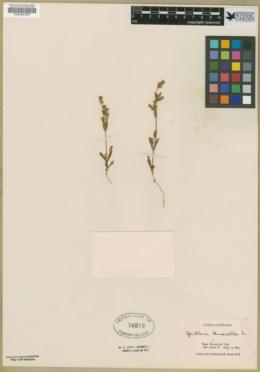 Gentianella amarella image