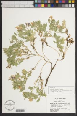 Lathyrus grimesii image
