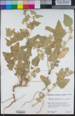 Image of Sphaeralcea axillaris
