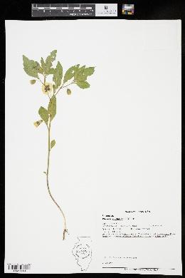Physalis virginiana image